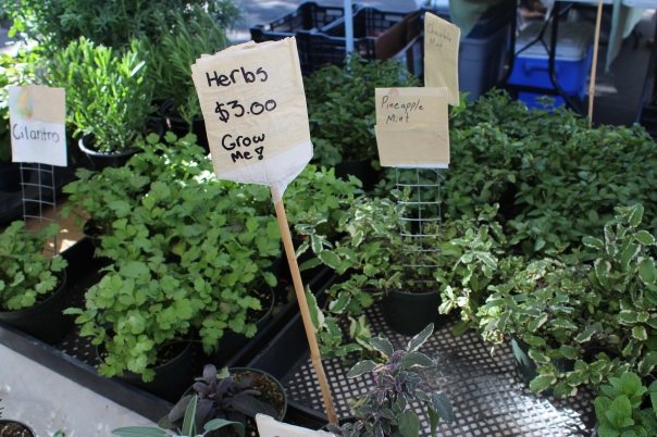 Herbs, cilantro, mint, pineapple mint, chocolate mint, rosemary, sage, herb garden